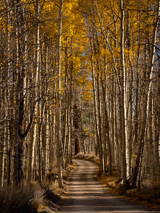 Through the Aspens