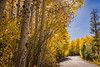 Autumn Aspen Tree Road