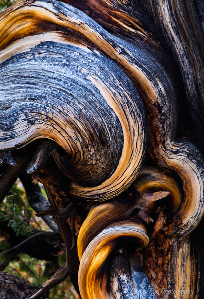 Knotted Tree Trunk