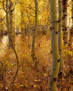 Aspen Grove Bishop Creek Canyon California