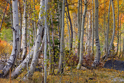 Aspen Grove in the Fall Carson Pass California