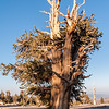 A bristlecone pine in sunset light.