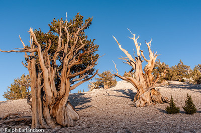 Two bristlecone pines in sunset light.