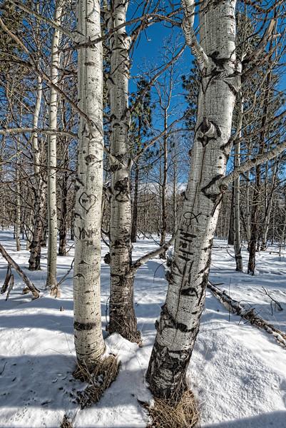 Winter Aspen trees