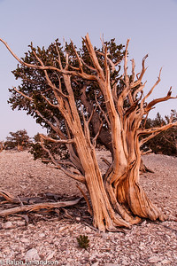 A bristlecone pine in sunset light.