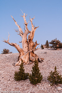 An old bristlecone pine in sunset light, with three young ones (200+ years old) in front.