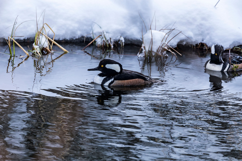 Hooded Merganser in the Snow