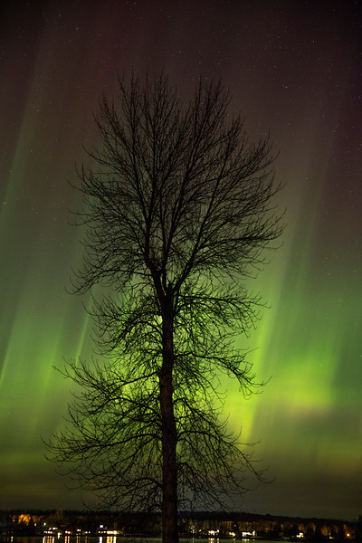 Ash Tree Aurora