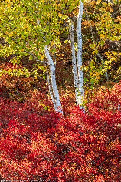 Paper Birch and Red Blueberry Bushes