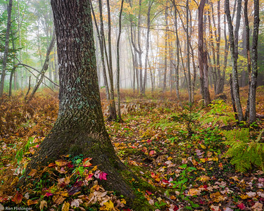 Foggy New England Forest