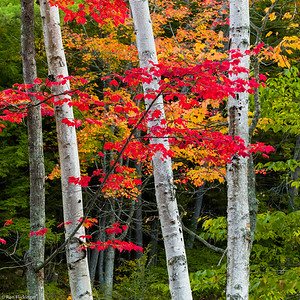 Maple and Birches
