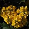 Oregon-grape (Mahonia aquifolium).
