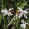 Bulbiferous prairie-star (Lithophragma glabrum).