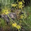 Nineleaf lomatium (Lomatium triternatum).
