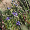 Upland larkspur (Delphinium nuttallianum).