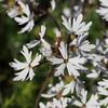 Small-flowered prairie-star (Lithophragma parviflorum).