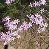 Showy phlox (Phlox speciosa).