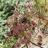 Fern-leaf lomatium (Lomatium dissectum).
