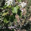 Serviceberry (Amelanchier alnifolia).