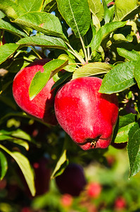 Washington State Apples