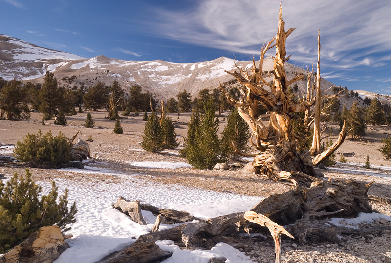 Ancient Bristlecone Pine Forest, Patriarch Grove, Inyo National Forest