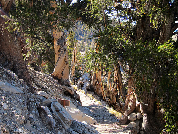 Trail in the Schulman Grove in the Bristle Cone Pine National Forest, California. Picture taken by Anna Weber.