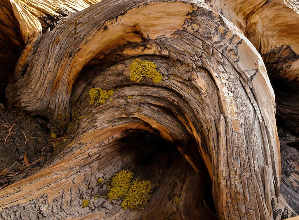 Bristle cone ancient