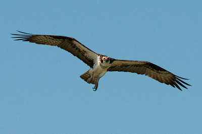 Osprey, Cambridge, MD