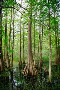 Cypress Tree, Lafayette, La