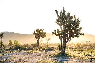 Sunrise, Joshua Tree, Ca