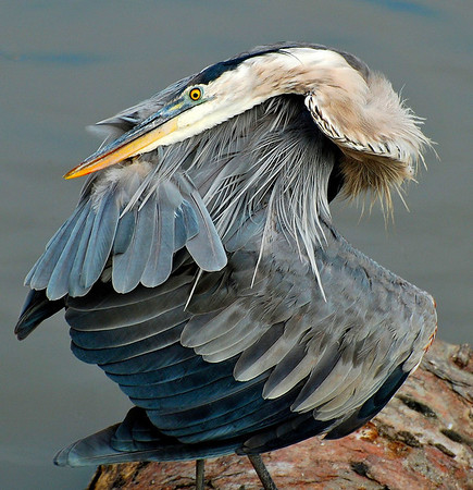 WRAP-AROUND BLUE HERON