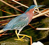 BRIGHT, COLORFUL GREEN HERON