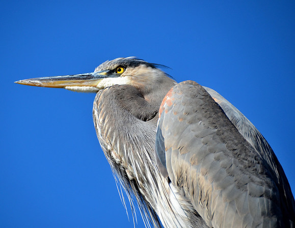 HERON NOT HAWK