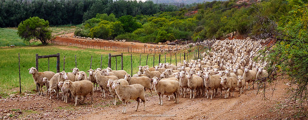 Hundreds of sheep near De Rust - they just kept coming.