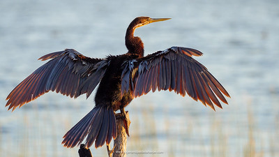 We had great sightings of many waterbirds, like this African darter drying it's wings in the wind.