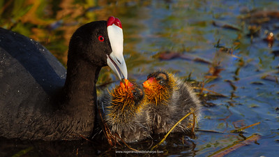 Heavens, those little coot chicks are not pretty… 😉