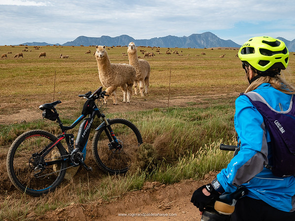 Those odd looking sheep? Them be lamas. And we are both hoping that they won't spit at us.