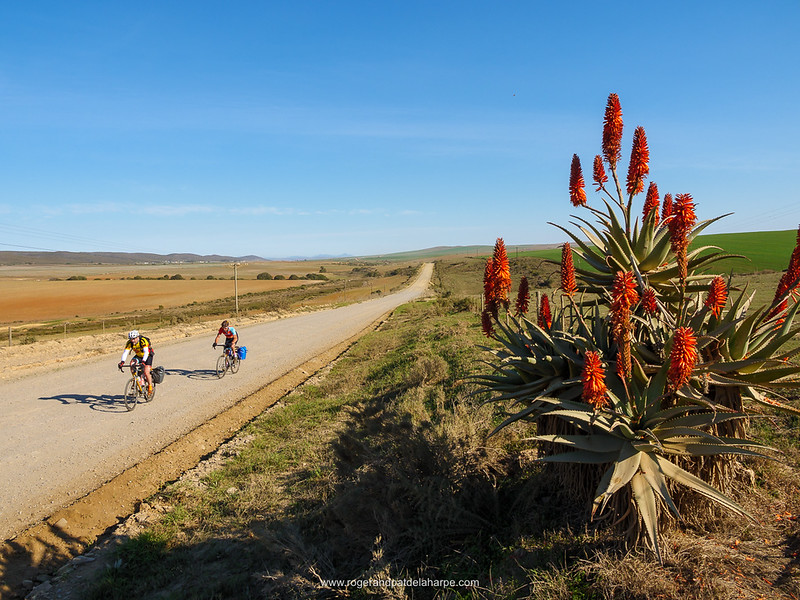 Cyclists, Kranz aloe (Aloe arborescens) and rural scene near. Malgas (Malagas). Western Cape. South Africa
