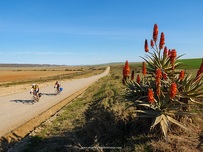 Cyclists, Kranz aloe (Aloe arborescens) and rural scene near. Malgas (Malagas). Western Cape. South Africa
