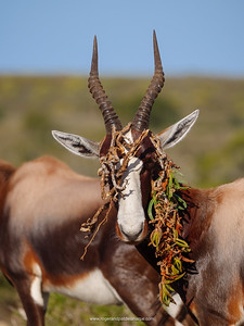 Bontebok (Damaliscus pygargus) with a piece of sour fig, Cape fig or Hottentots fig (Carpobrotus edulis) draped over its horns. De Hoop Nature Reserve. Western Cape. South Africa