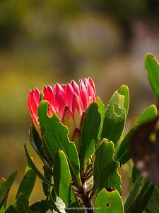 Bredasdorp protea, limestone protea or limestone sugarbush (Protea obtusifolia). De Hoop Nature Reserve. Western Cape. South Africa.