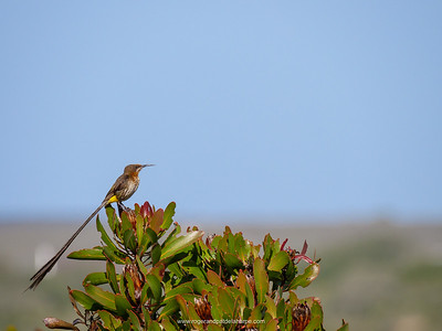 Cape Sugarbird {Promerops cafer}. De Hoop Nature Reserve. Western Cape. South Africa