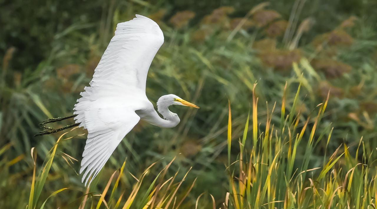 Grande aigrette. Great Egret.