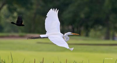 Grande aigrette , Golf de Boucherville le 13 juin 2013.