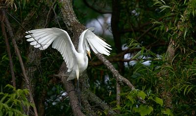 Grande aigrette, Great egret