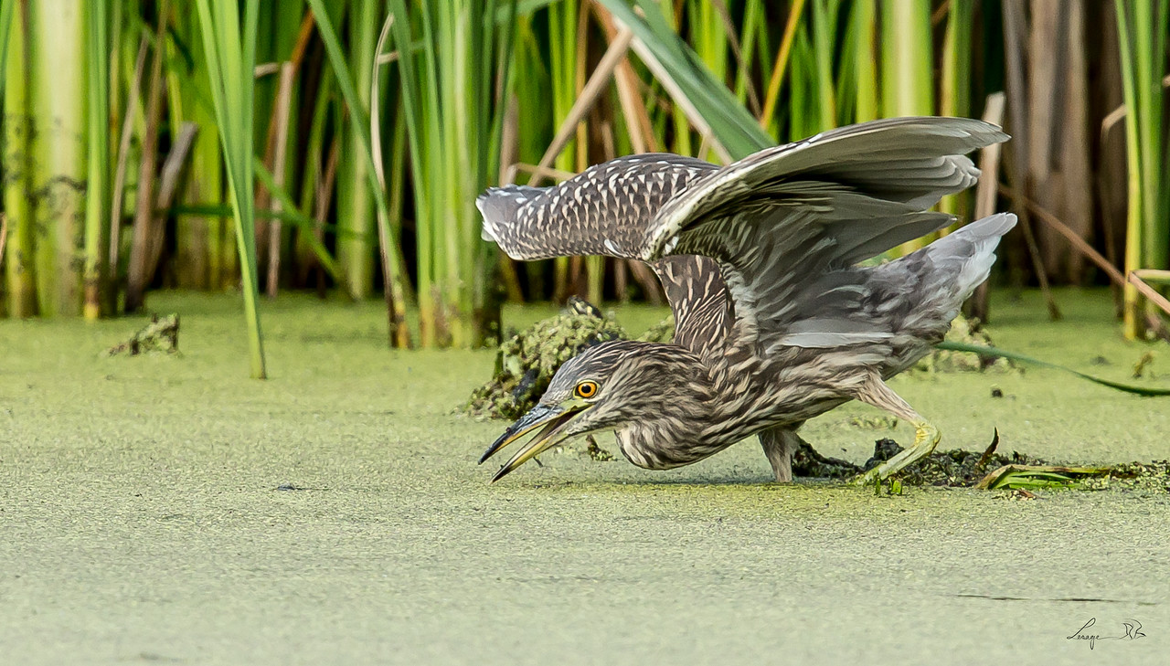 Bihoreau immature,  Black crowned night heron juvenile