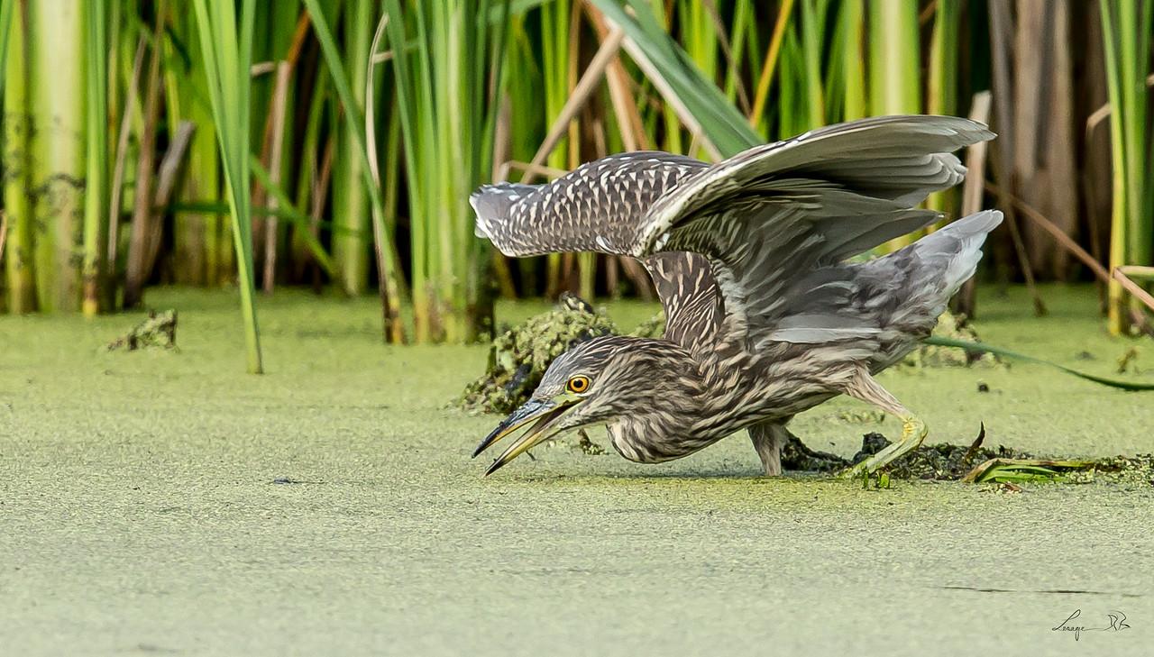 Bihoreau immature,  Black crowned night heron juvenile