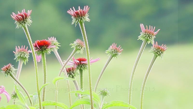 Echinacea Gathering