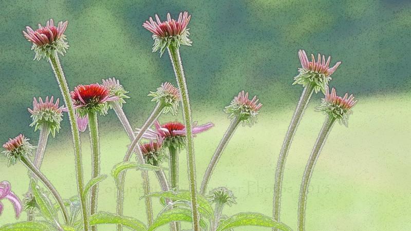 Echinacea Gathering sketched