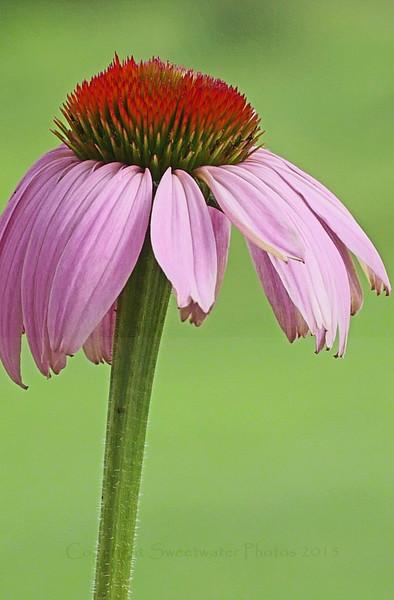 Echinacea Series